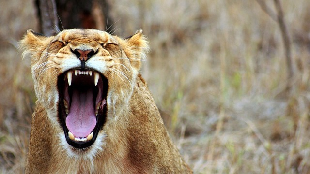 mutige Löwin